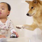 愛情を感じる(涙)とある実験で柴犬が赤ちゃんにみせた優しさにほっこり