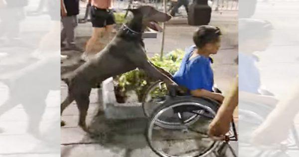 これぞ「最強のふたり」!車いすの男性を優しく押してあげるワンちゃんに感動
