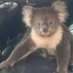 可愛すぎだろ!車に侵入したコアラに世界中の人々が和んでいる件