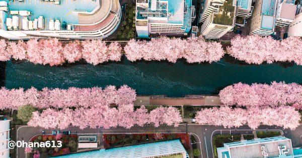 目黒川桜の花道