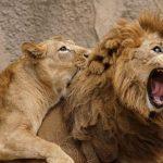 【ほぼ4コマ漫画】ある2頭のライオンが人間の夫婦と完全一致