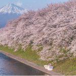 桜の撮影中に新郎新婦が写り込んで「奇跡のショット」が誕生