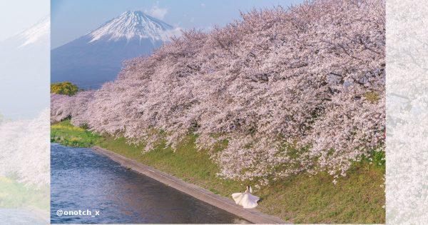桜×富士山×新郎新婦