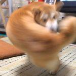 「右フックしてるように見える柴犬」がネットで大人気に!