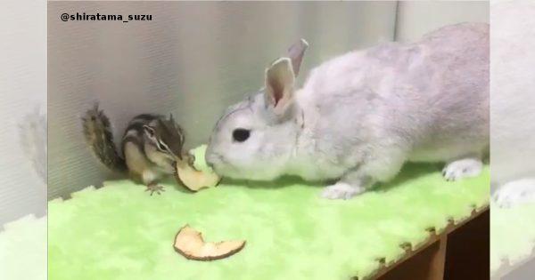 エサを取り合うリスとウサギ
