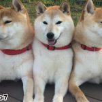 「柴犬ケルベロス」が世界で初めて撮影される