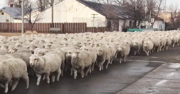 羊が1匹、羊が...何百匹!? 観てたら眠くなる羊の大行列に驚愕