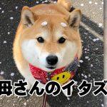 桜の花びらが眉になってる!本日も柴犬がかわいすぎて尊い 9選