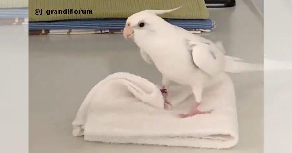 ご機嫌にタオルをたたむインコ