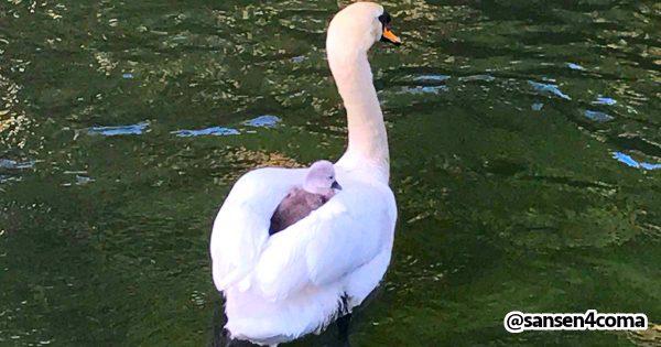 出発進行!🦆 親の背中にちょこんと乗る白鳥のヒナがかわいい