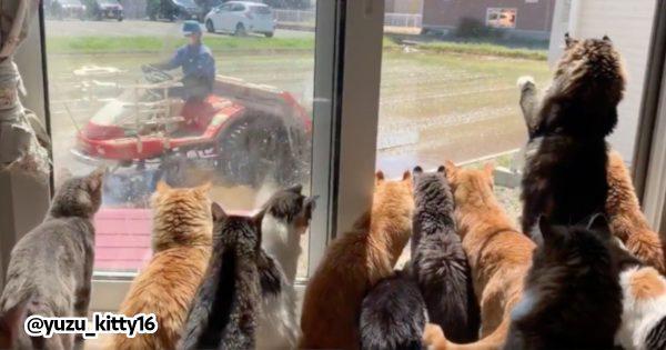 田植えに集まる猫
