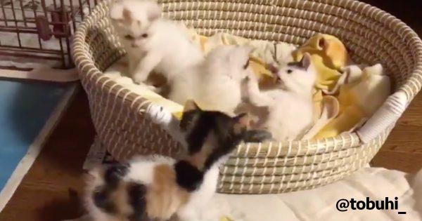 子猫がひたすらわちゃわちゃしてるだけの動画