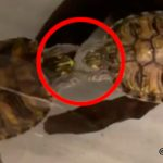 両手を繋ぐ2匹の亀... その行動の意味とは?