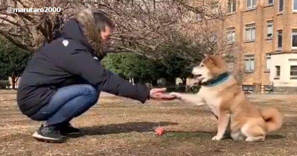 柴犬とのキャッチボールが楽しそう