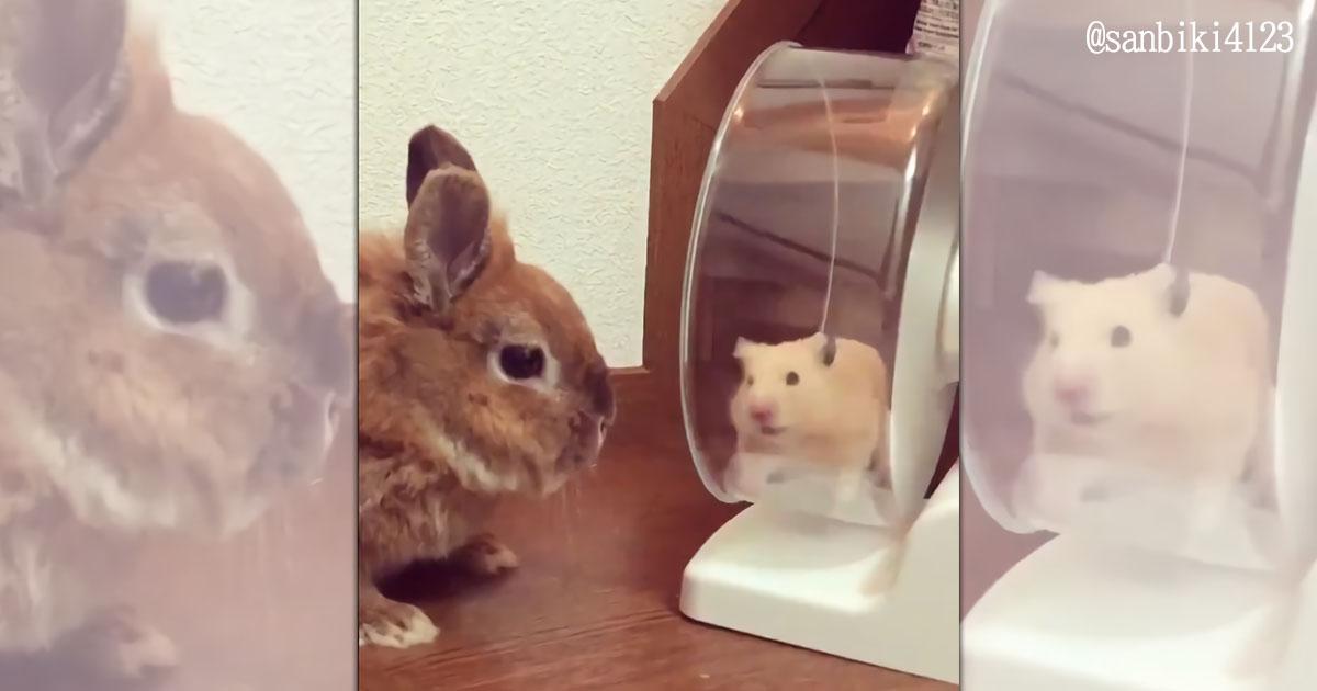 ウサギにずっと見つめられるハムスター。お互いの謎の交流がかわいすぎる