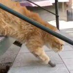 【世の中捨てたもんじゃない】手足を失ったネコが義肢で歩く姿に感動