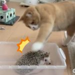 ネコは「ハリネズミの針」を触る快感を覚えた