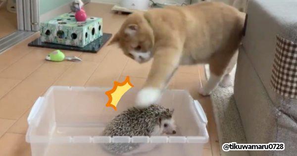 ハリネズミをちょっと触っていく猫