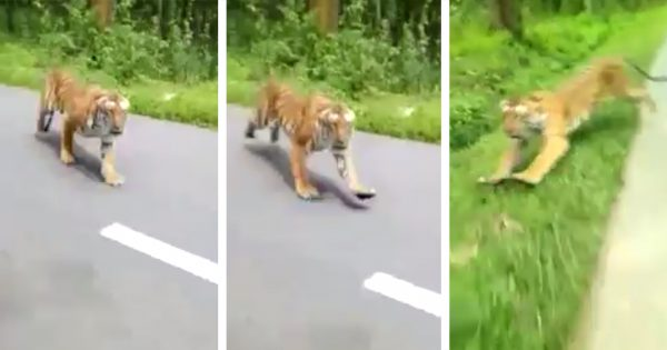 マジでビビった... トラが人間めがけて猛ダッシュ🐅💨