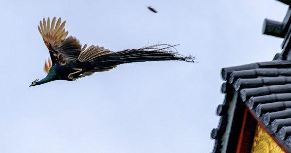 「クジャク x お寺」を収めた写真が美しい!ちょっと茨城行ってくるわ