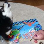 泣く赤ちゃんを必死にあやす柴犬... なんて優しい子
