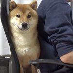 柴犬よ、なぜそこに座る。