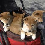 子柴4兄弟のカート散歩、可愛さが大渋滞。