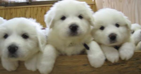 白くてふっわふわ!グレートピレニーズの子犬たちがもはやぬいぐるみ