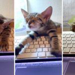 【35万いいね】キーボード上で爆睡する子猫がかわいいので一旦見てほしい