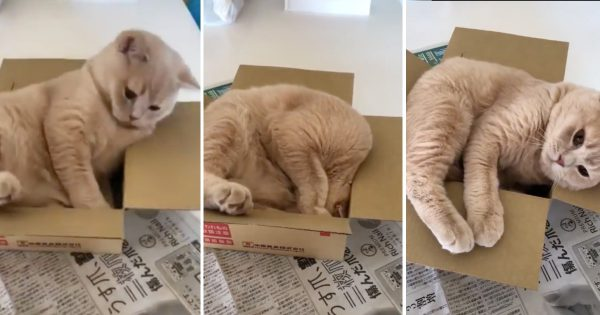 ネコ「絶対に入りたい箱がそこにはある」→ サイズ感が合わず敗北