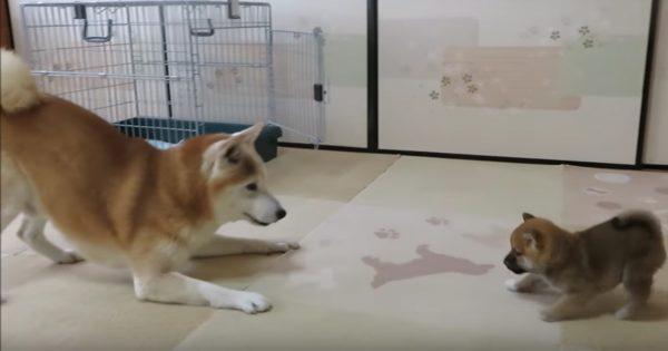 「柴犬と小柴」の初対面を見たら、疲れた心が充電された