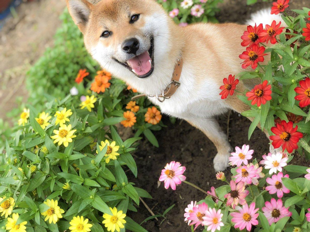 柴犬 笑顔 農家 写真