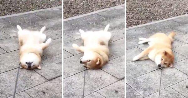 夏の「ひんやり石畳」でゴロンする柴犬かわいすぎない?