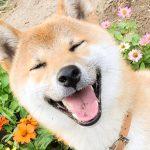 こんな「100点の笑顔」の柴犬、見たことある?