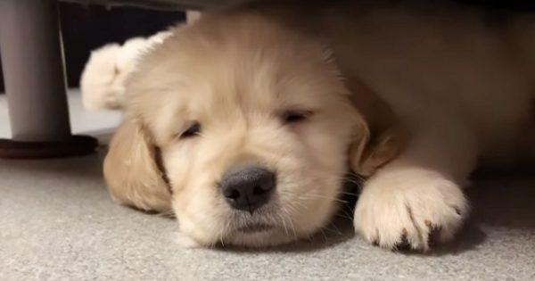 寝落ちするゴールデン・レトリバーの子犬