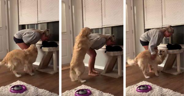 猫とご主人がイチャコラ → ゴールデンの大嫉妬をご覧ください