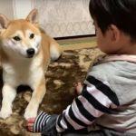 赤ちゃんの面倒を見るこの柴犬さん、偉くない?マジで