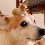 犬をブラッシングしたら「ミニコーギー」が完成!かわいくない?