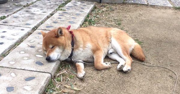 ベッドまで行かずに寝落ちする柴犬、土日の私と完全一致