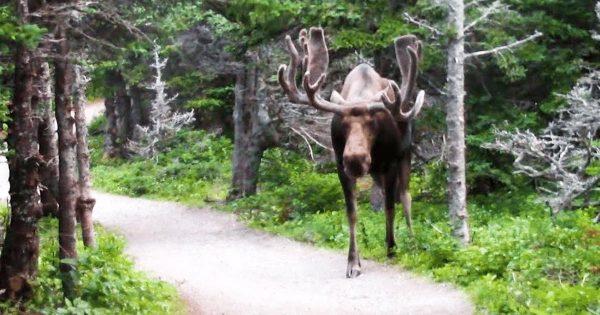 【神々しい】「こんな動物がまだ地球にいるなんて信じられない」ハイキング中に巨大なヘラジカに遭遇!縮尺がおかしい!