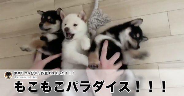 たった4秒の「柴犬動画」だけど、破壊力がまぁスゴい