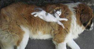 体格差が激しい「子猫と犬」ってなんか癒されん? 12選