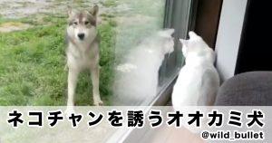 「遊びたいオーラを隠せないオオカミ犬」のギャップに萌え散らかしたわ