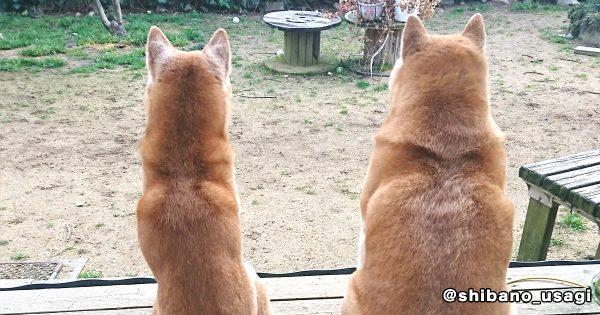 【クイズ】この柴犬の親子、父親はどっち?