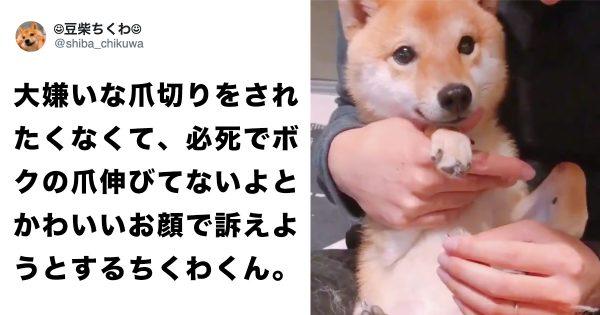 chikuwakun