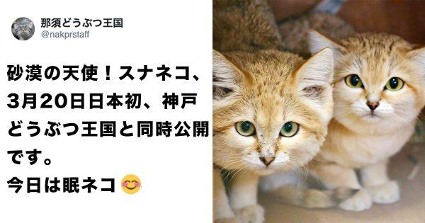 【猫好きに朗報】砂漠の天使「スナネコ」に会えるようになるぞ〜!