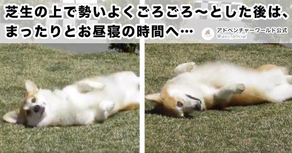「ただ犬がゴロゴロしてるだけ」の動画なのに…見ちゃう…