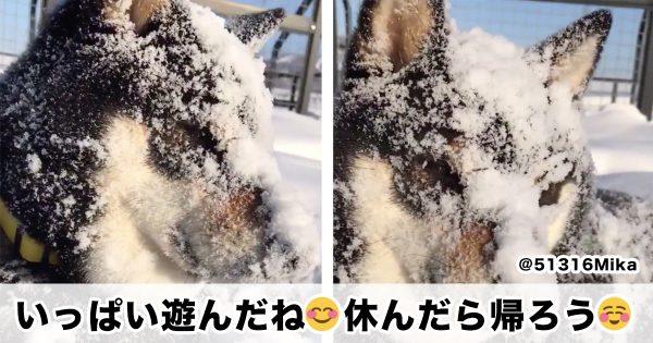 北海道で見られる「黒柴→雪柴」の変身がこちら