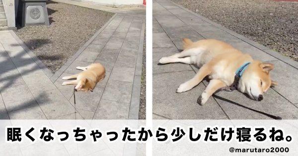 【春ですね】散歩中の柴犬、寝る。