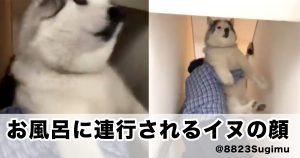お風呂に連行されるハスキー犬の顔www